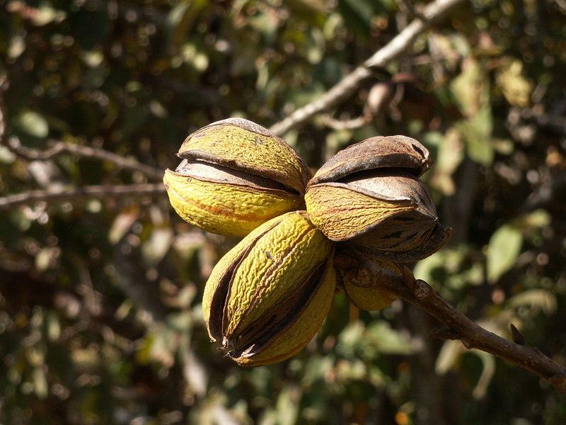 Pecan nuts on tree